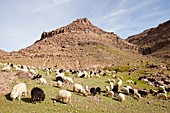 Berber flock of sheep and goats