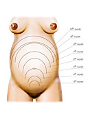 Pregnant woman,illustration