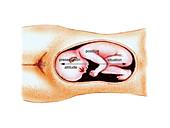 Full term foetus,illustration