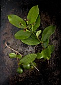 Sprigs of guava leaves