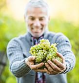 Älterer Mann hält frisch gepflückte Weintrauben in den Händen