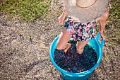 A young woman crushing red grapes with her feet in a blue bucket