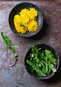 Dandelion leaves and flowers in iron bowls on a rusty metal surface