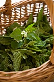 Fresh stinging nettles in a basket