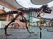 Senckenbergmuseum: Skelett des Tyrannosaurus rex, Frankfurt am Main