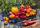 Red and yellow peppers in a wire basket on a garden table