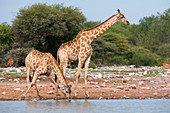 Giraffes at a waterhole