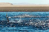 Pacific barracuda hunting