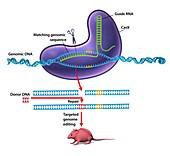 CRISPR-Cas9 gene editing,diagram