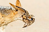 Black-backed jackal hunting sandgrouse