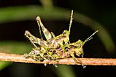 Amazonian grasshoppers mating