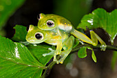 Glass frogs mating