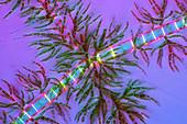 Draparnaldia green algae,micrograph
