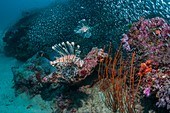 Red lionfish hunting over a coral reef