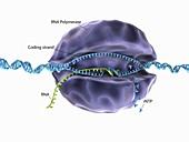 DNA transcription,illustration