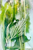 Stinging nettles, wheatgrass and dandelion behind glass