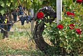 Blaue Trauben an der Rebe und blühende rote Rosen