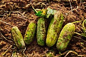 Freshly harvested cucumbers in a field