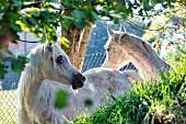 Young horses in a meadow near Vesio, Tremosine, Lake Garda, Italy