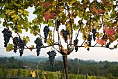 Ripe Nebbiolo grapes on a vine