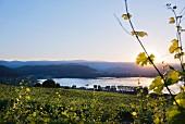 Sonnenuntergang im Tal des Minõ, Weinberge des Weingutes von Eduardo Peña