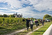 Harvest time at Château Pichon-Longueville-Baron, Bordeaux, France