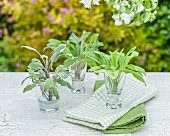 Three different types of sage in shot glasses on a garden table