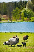 Heidschnucke sheep, Upper Palatinate, Germany