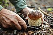 Man schneidet Steinpilz im Wald