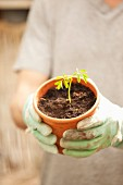 Hände mit Handschuhen halten Blumentopf mit Moringa-Sämling