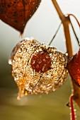 Lampionblume: Reife Frucht in durchscheinender Hülle mit Tautropfen im Herbstlicht (Nahaufnahme)