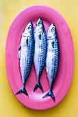 Drei frische Makrelen auf pinkfarbener Servierplatte (Draufsicht)