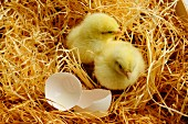 Two chicks with eggshells in wood shavings