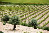 Reben und Olivenbäume der Finca Montepedroso (Rueda, Spanien)