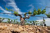 Alte Rebstöcke in Gobeleterziehung, auf Drahtrahmen umerzogen und mit Bewässerung (Javier Sanz, Rueda, Spanien)