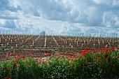 Neubepflanzung von Rebstöcken auf flachem Feld (Rueda, Spanien)