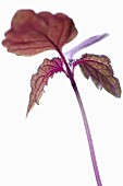 Purple shiso cress