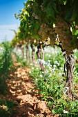 Anbau von Charello-Trauben auf dem Weingut Recaredo (El Penedes, Spanien)