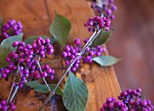 Sprigs of purple beautyberry (Callicarpa)