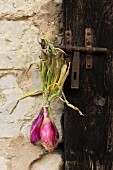 Red onions hanging on a wooden door