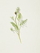 Wild fennel on a white surface