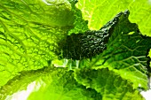 Light shining through savoy cabbage leaves (full-frame)