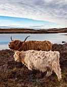 Scottish Highland cows (Kyloe) in the Scottish Highlands