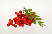 Rowan berries against a white background
