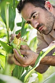 A farmer inspecting corn in a field