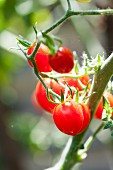 Cherry tomatoes in a greenhouse
