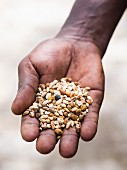 A hand holding a traditional Ethiopian snack: a mix of roasted grains called kolo