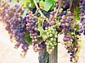Cabernet Sauvignon grapes in a vineyard in the Bordeaux region of France
