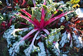 Red chard in the snow after a frosty period