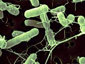 Salmonella agona